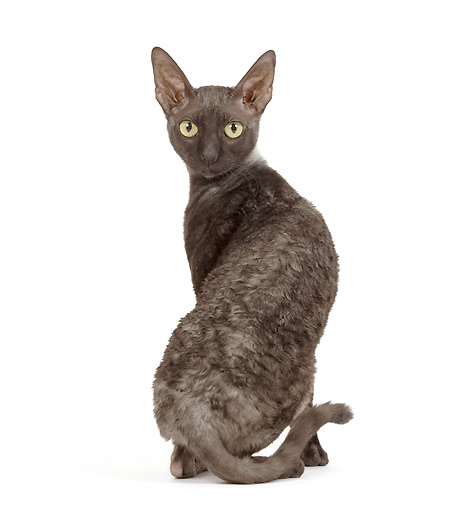 CAT 02 JE0172 01 © Kimball Stock Cornish Rex Sitting On White Seamless