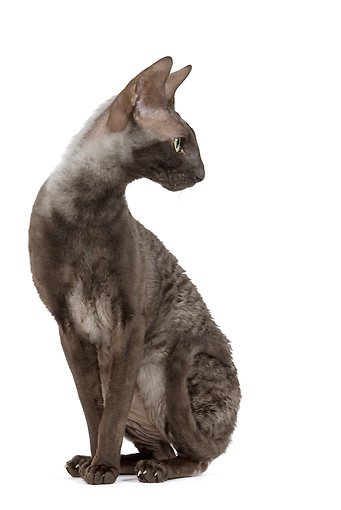 CAT 02 JE0173 01 © Kimball Stock Cornish Rex Sitting On White Seamless