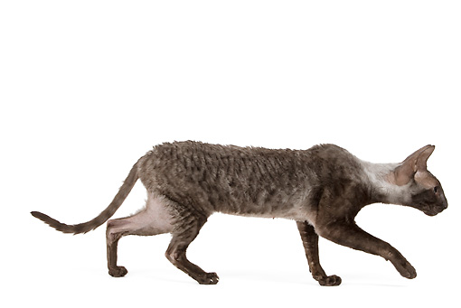 CAT 02 JE0174 01 © Kimball Stock Cornish Rex Walking On White Seamless Profile