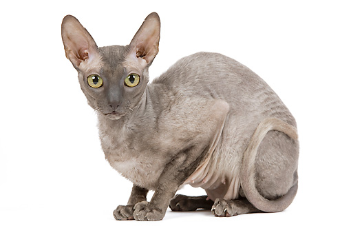 CAT 02 JE0175 01 © Kimball Stock Cornish Rex Sitting On White Seamless