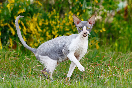 CAT 02 JE0176 01 © Kimball Stock Cornish Rex Walking Through Grass