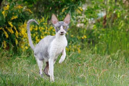 CAT 02 JE0177 01 © Kimball Stock Cornish Rex Walking Through Grass
