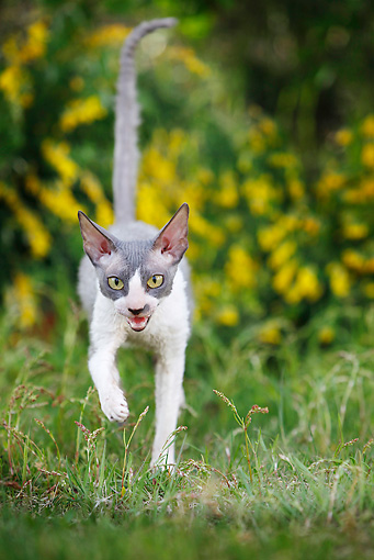 CAT 02 JE0178 01 © Kimball Stock Cornish Rex Walking Through Grass