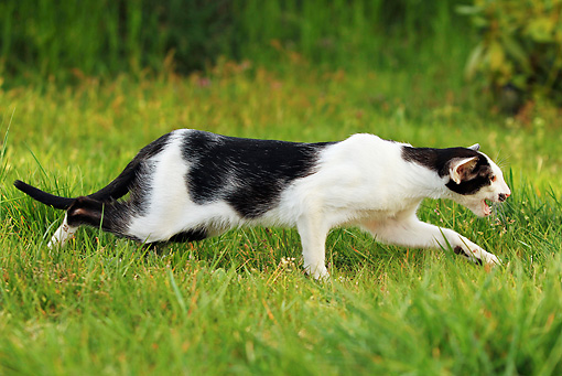 CAT 02 JE0182 01 © Kimball Stock Black And White Cat Walking On Grass Profile