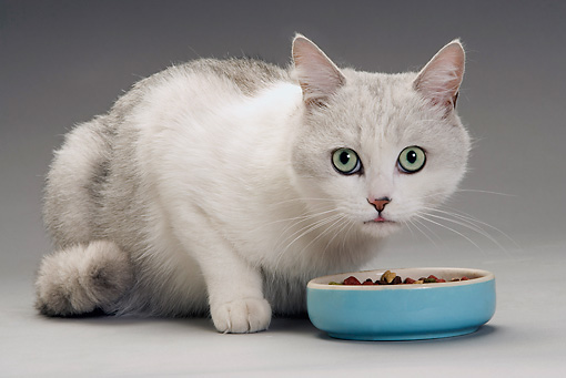 CAT 02 JE0188 01 © Kimball Stock Alley Cat Sitting By Blue Food Bowl On White Seamless