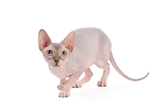 CAT 02 JE0315 01 © Kimball Stock Sphynx Crouching On White Seamless