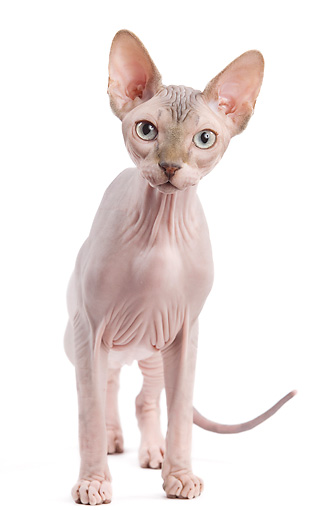 CAT 02 JE0317 01 © Kimball Stock Sphynx Standing On White Seamless