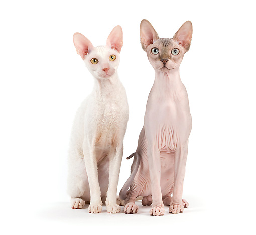 CAT 02 JE0319 01 © Kimball Stock Rex Devon And Sphynx Sitting On White Seamless