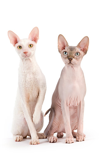 CAT 02 JE0320 01 © Kimball Stock Rex Devon And Sphynx Sitting On White Seamless