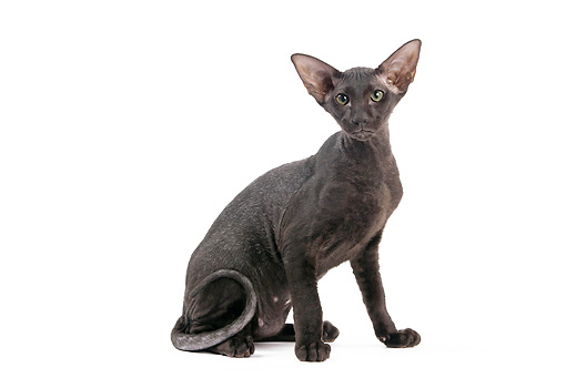 CAT 02 JE0321 01 © Kimball Stock Black Peterbald Sitting On White Seamless