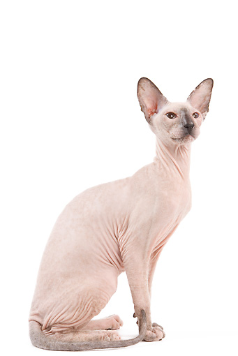 CAT 02 JE0322 01 © Kimball Stock Peterbald Sitting On White Seamless