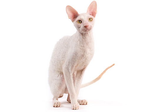 CAT 02 JE0323 01 © Kimball Stock Cornish Rex Sitting On White Seamless