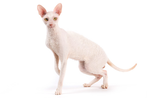 CAT 02 JE0324 01 © Kimball Stock Cornish Rex Standing On White Seamless