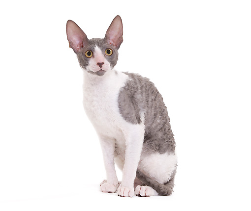CAT 02 JE0330 01 © Kimball Stock Cornish Rex Sitting On White Seamless