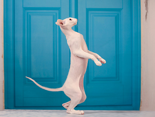 CAT 02 JE0337 01 © Kimball Stock Peterbald Standing On Hind Legs By Blue Door