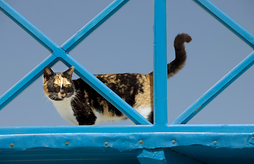 CAT 02 JE0342 01 © Kimball Stock Greek Island Cat Looking Through Blue Railing, Greece