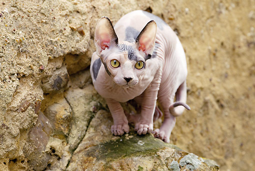CAT 02 JE0358 01 © Kimball Stock Sphynx Cat Crouching On Rock