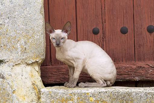 CAT 02 JE0360 01 © Kimball Stock Devon Rex Sitting On Door Step