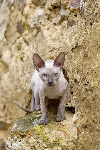 CAT 02 JE0362 01 © Kimball Stock Devon Rex Crouching On Rock