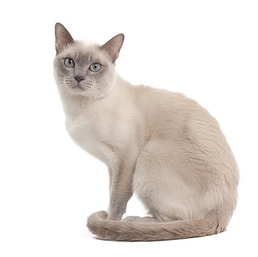 CAT 02 JE0375 01 © Kimball Stock Tonkinese Lilac Cat Sitting On White Seamless