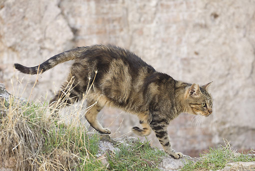 CAT 02 JE0377 01 © Kimball Stock Alley Cat Walking On Rocks In Torre Argentina, Rome