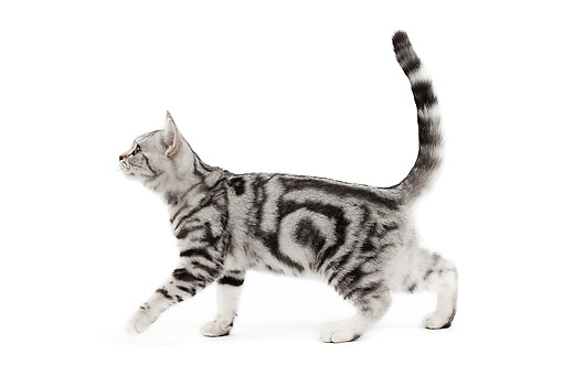 CAT 02 JE0386 01 © Kimball Stock British Shorthair Black And Silver Walking On White Seamless