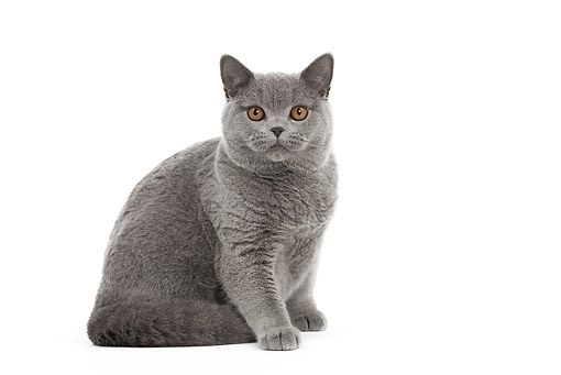 CAT 02 JE0388 01 © Kimball Stock Blue British Shorthair Sitting On White Seamless