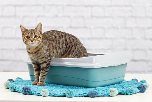 CAT 02 JE0392 01 © Kimball Stock Alley Cat Standing In Litter Box