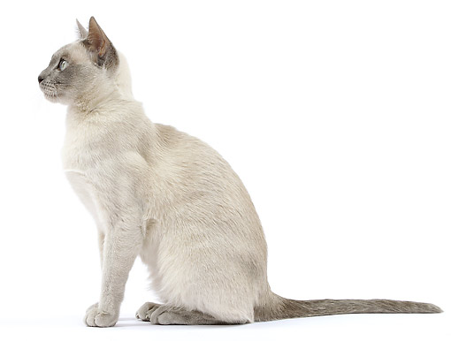 CAT 02 JE0398 01 © Kimball Stock Tonkinese Lilac Cat Sitting On White Seamless