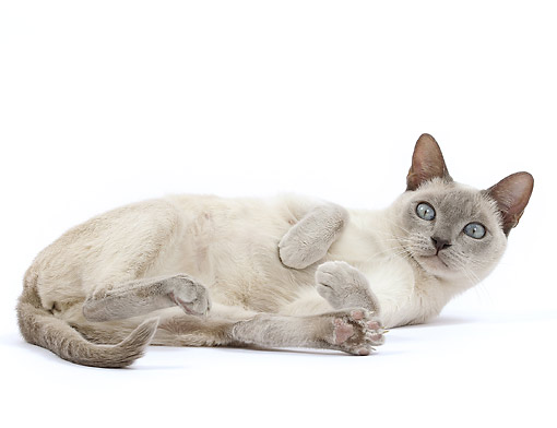 CAT 02 JE0399 01 © Kimball Stock Tonkinese Lilac Cat Laying On White Seamless