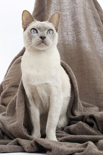 CAT 02 JE0400 01 © Kimball Stock Tonkinese Lilac Cat Sitting On Gray Blanket