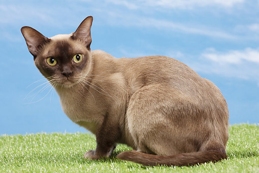 CAT 02 JE0402 01 © Kimball Stock Burmese Cat Crouching On Grass Against Blue Sky