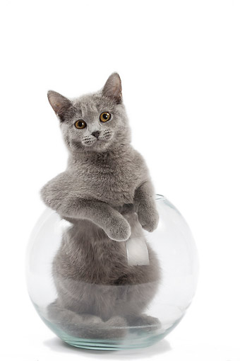 CAT 02 JE0406 01 © Kimball Stock Chartreux Cat Sitting In Empty Fish Bowl On White Seamless