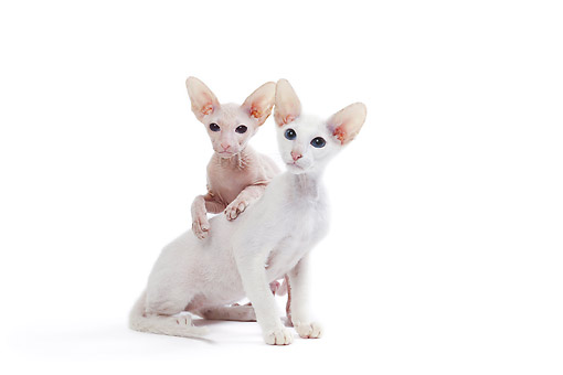 CAT 02 JE0416 01 © Kimball Stock Peterbald Cat And Kitten Sitting In Studio