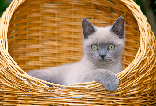 CAT 02 JS0005 01 © Kimball Stock Birman Blue Point Sitting In Wicker Basket