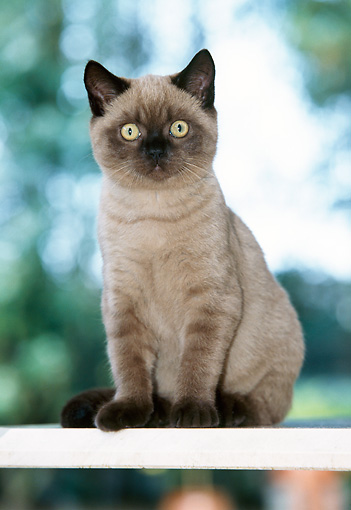 CAT 02 JS0006 01 © Kimball Stock Birman Blue Point Sitting On Fence