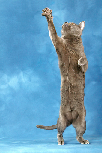 CAT 02 KH0008 01 © Kimball Stock Korat Standing On Hind Legs Reaching Up With Paw Studio