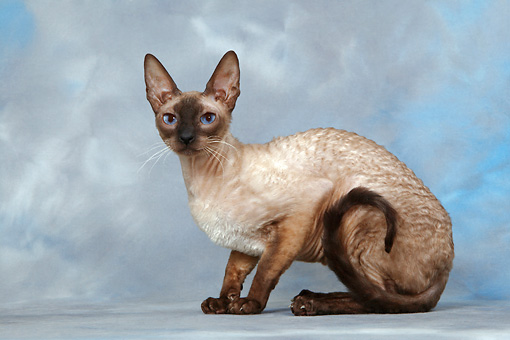 CAT 02 KH0020 01 © Kimball Stock Seal Point Cornish Rex Crouching Studio