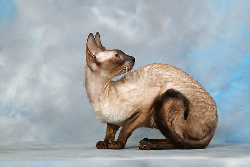 CAT 02 KH0021 01 © Kimball Stock Seal Point Cornish Rex Crouching Looking Away Studio