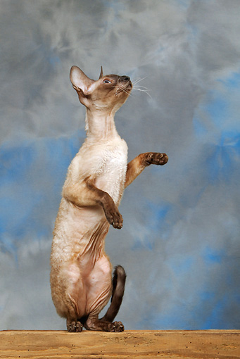 CAT 02 KH0022 01 © Kimball Stock Seal Point Cornish Rex Sitting Up Studio