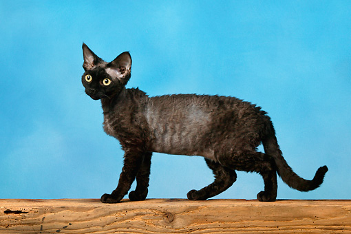 CAT 02 KH0024 01 © Kimball Stock Black Devon Rex Standing Studio