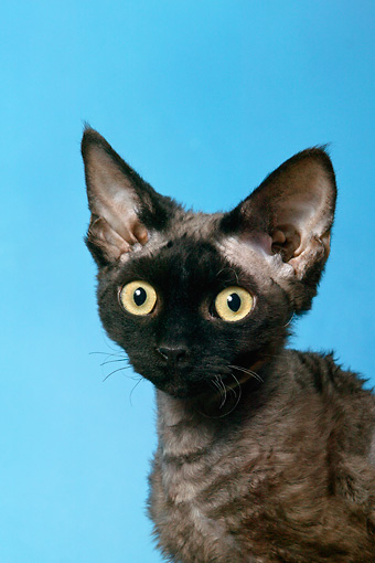 CAT 02 KH0025 01 © Kimball Stock Black Devon Rex Head Shot Studio