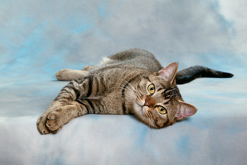 CAT 02 KH0029 01 © Kimball Stock Tabby Asian Cat Laying On Side Studio
