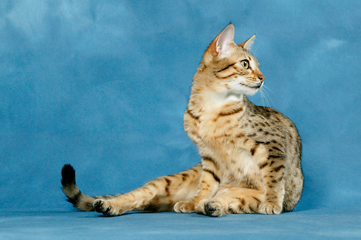 CAT 02 KH0034 01 © Kimball Stock Bronze Egyptian Mau Sitting Looking Away Studio