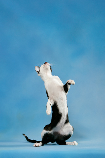 CAT 02 KH0036 01 © Kimball Stock Black And White Oriental Shorthair Standing On Hind Legs Looking Up Studio