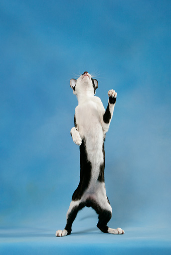 CAT 02 KH0037 01 © Kimball Stock Black And White Oriental Shorthair Standing On Hind Legs Looking Up Studio