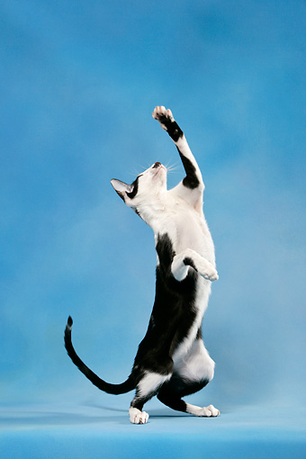 CAT 02 KH0040 01 © Kimball Stock Black And White Oriental Shorthair Standing On Hind Legs Reaching Up Studio