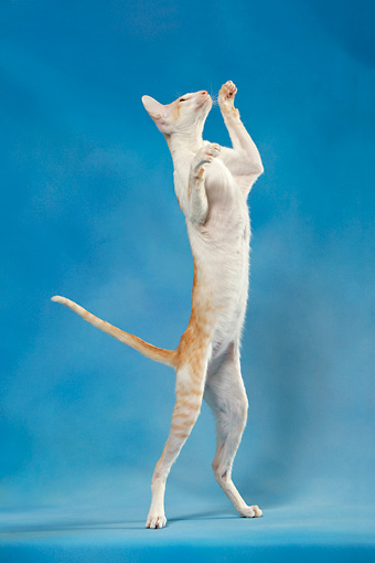 CAT 02 KH0041 01 © Kimball Stock Orange And White Tabby Oriental Shorthair Standing On Hind Legs Reaching Up Studio