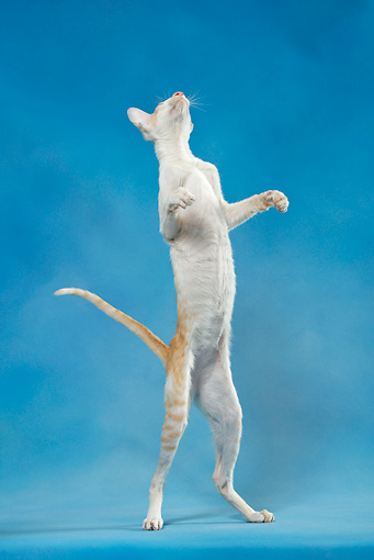 CAT 02 KH0042 01 © Kimball Stock Orange And White Tabby Oriental Shorthair Standing On Hind Legs Looking Up Studio