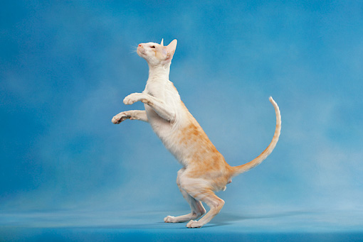 CAT 02 KH0043 01 © Kimball Stock Orange And White Tabby Oriental Shorthair Standing On Hind Legs Looking Up Studio